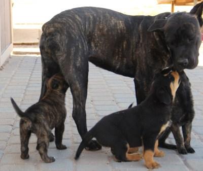 tosa inu, cane corso, mastiff, for sale, Arizona