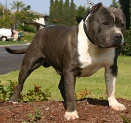 bully style pit bull puppies for sale, arizona, blue
