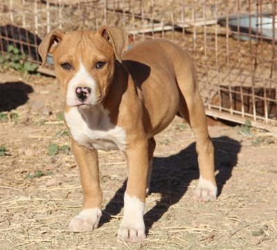 Pitbull Puppies For Sale Arizona Pit Puppy Kennel
