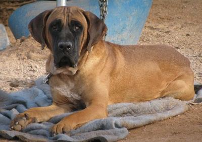 Tosa Inu Cane Corso Puppies For Sale Mastiff Brindle Fawn Arizona