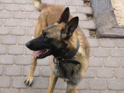 Belgian Malinois, Mali, Arizona, Breed Information, kennel ...